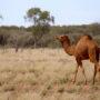 Staatsbosbeheer zet kamelen uit in Oostvaardersplassen