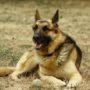 LIEF: Drugshond Rambo met pensioen