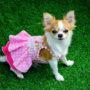 Chihuahua opnieuw Achterstandshondje van het Jaar