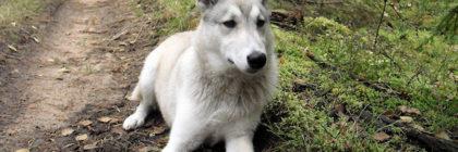 hond-husky