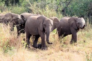 jungle-olifant-olifanten-afrika