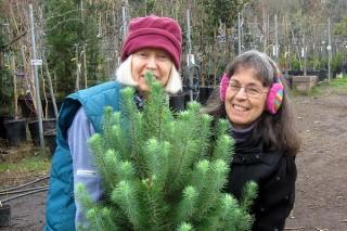 kerstbomen-vaak-onverdoofd-gekapt