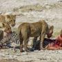 Zebra's vaak tot bloedens toe gepest
