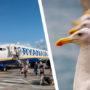 Zeemeeuwen sluiten zich aan bij staking Ryanair