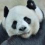 Panda's in Nederland bijna uitgestorven