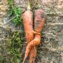 Paarseizoen wortelen van start