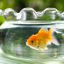 Politie valt viszaak binnen en redt goudvis