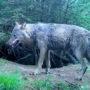 Wolf krijgt poepzakje mee