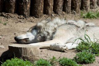 wolf-wildewolf