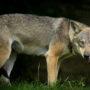 Wolf verdacht na vermissing bejaarde vrouw
