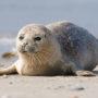 Doodknuppelen zeehondjes blijft verboden